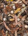 Gumleaves and Banksia debris