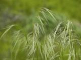 Native grass, Braeside
