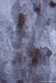 Masked Devil Cicadas