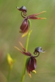 Flying Duck Orchids
