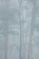 Misty forest, Mount Wilson