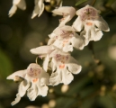 Victorian Christmas Bush flowers