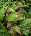 Prickly Rasp Ferns