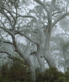 Scribbly Gums in mist