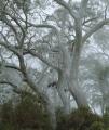 Scribbly Gums in mist