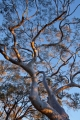Scribbly Gum and sunset