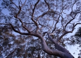 Inland Scribbly Gum at dusk