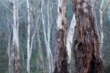Threatened tall forest, Ben Bullen State Forest