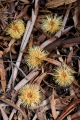Chewed Banksia flowers