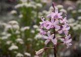 Hyacinth Orchid, Newnes Plateau