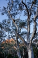 Inland Scribbly Gums, moon and pagoda