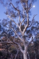 Scribbly Gum, moon and wind