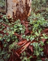 Vines and bark, Blue Gum Forest