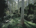 Morning, Blue Gum Forest