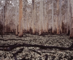 After the fire, Blue Gum Forest