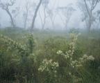 Hakea and fog