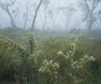 Hakea and fog