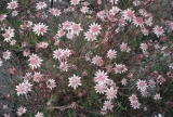 Pink Flannel Flowers