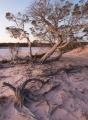 Salt Paperbark, dusk