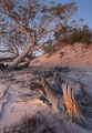 Salt Paperbark, sunset