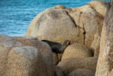 Basking Australian Fur Seal, Point Hicks