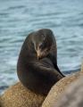 Australian Fur Seal, Point Hicks