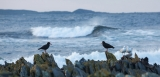 Sooty Oystercatchers and Red-billed Gulls