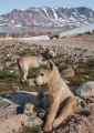 Greenland Sled Dogs
