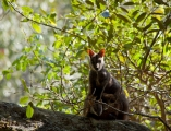 Brush-tailed Rock Wallaby with joey