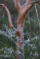 Waxflower and Angophora
