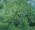 Water Gum branchlets