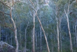 Forest Red Gums, Wolgan Valley, dusk