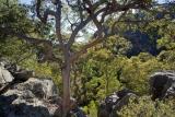 Yellow Bloodwood, Wolgan Gorge