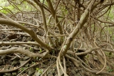 Fig thicket and basalt