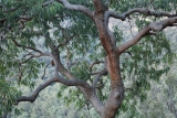 Yellow Bloodwood, evening light