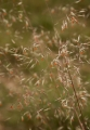 Wallaby Grass flowers